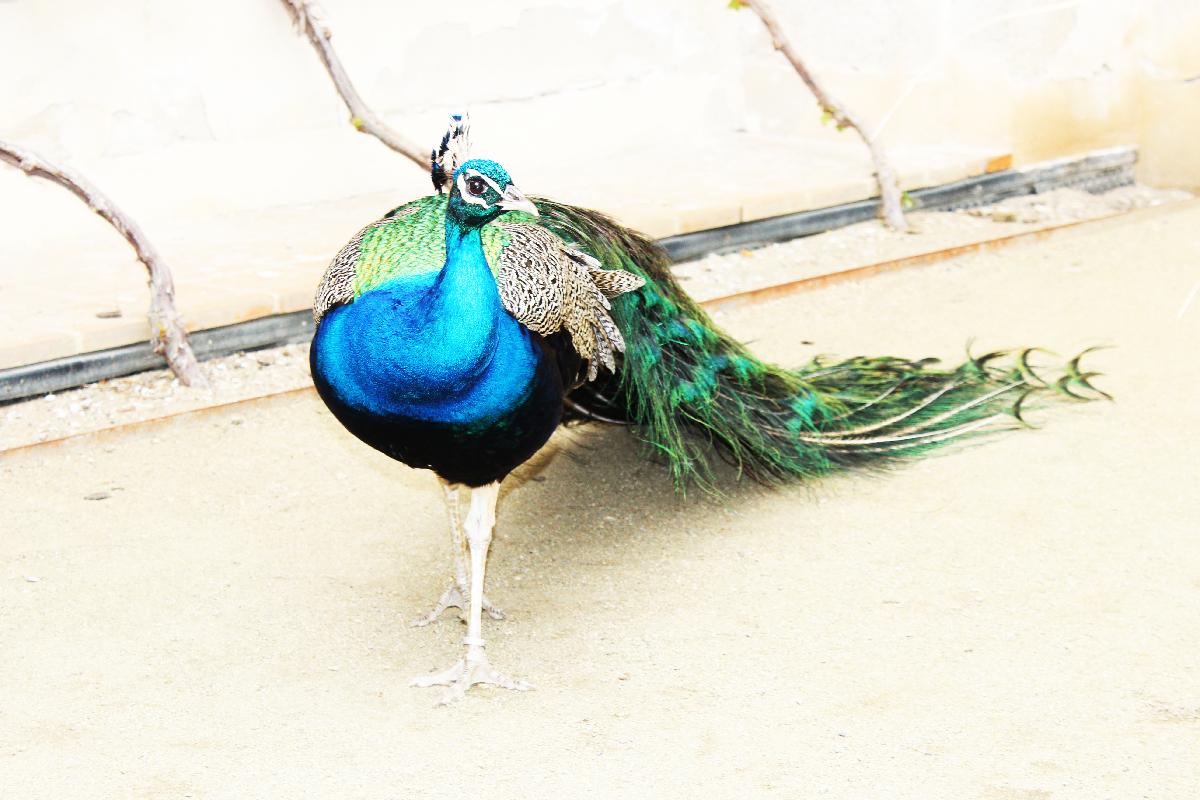 Elegant peafowl