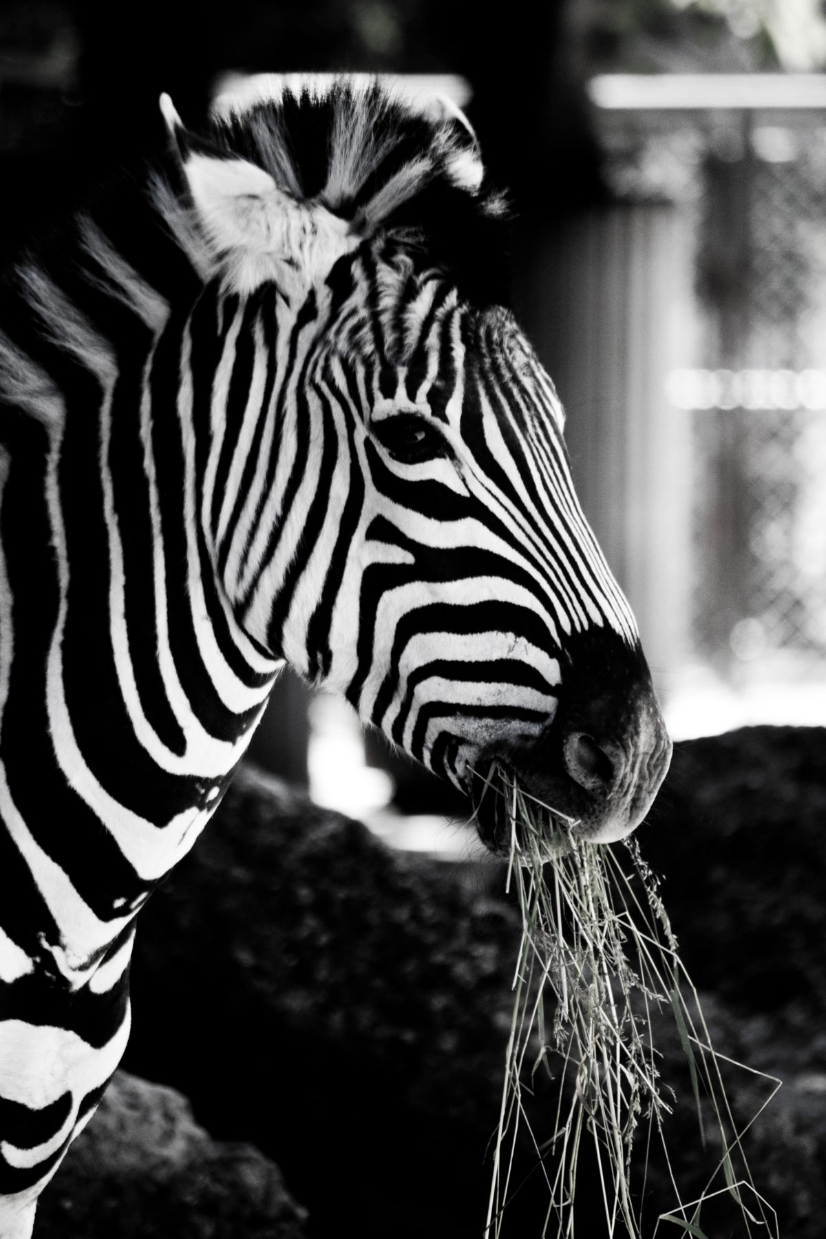 Zebra love black & white