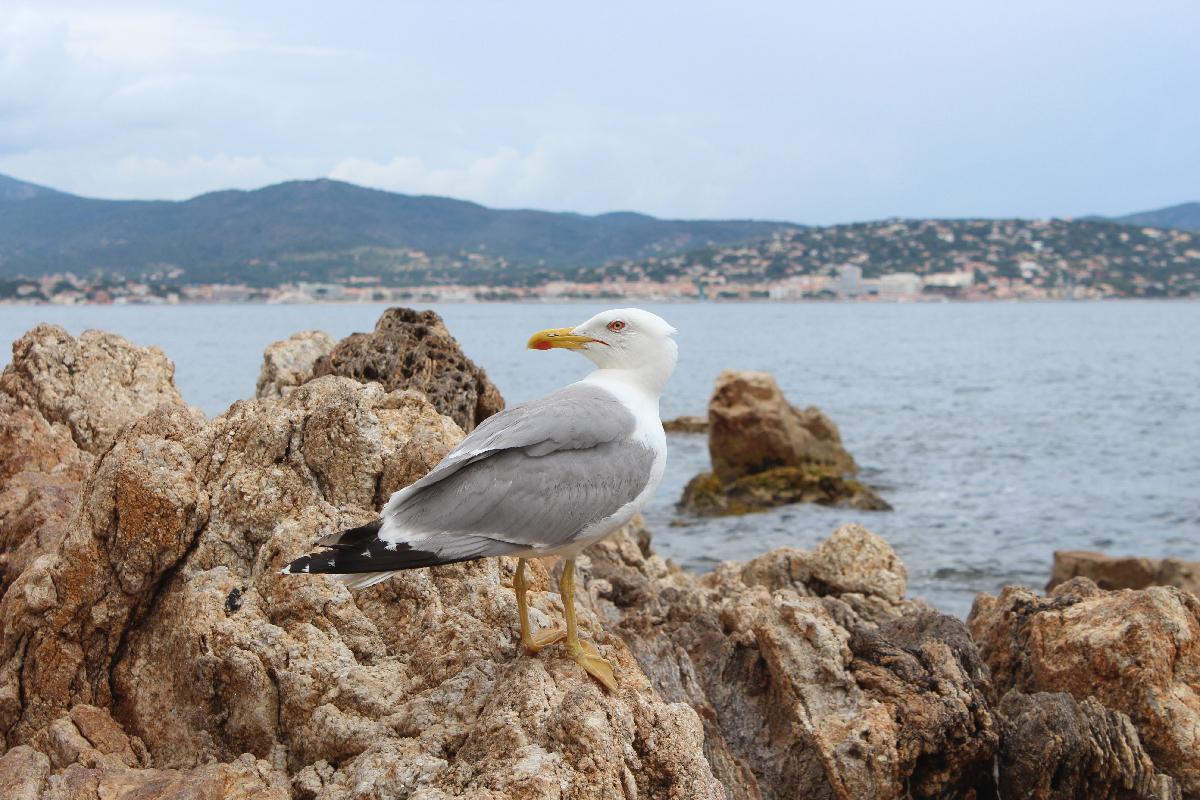 Seagull in St.Tropez