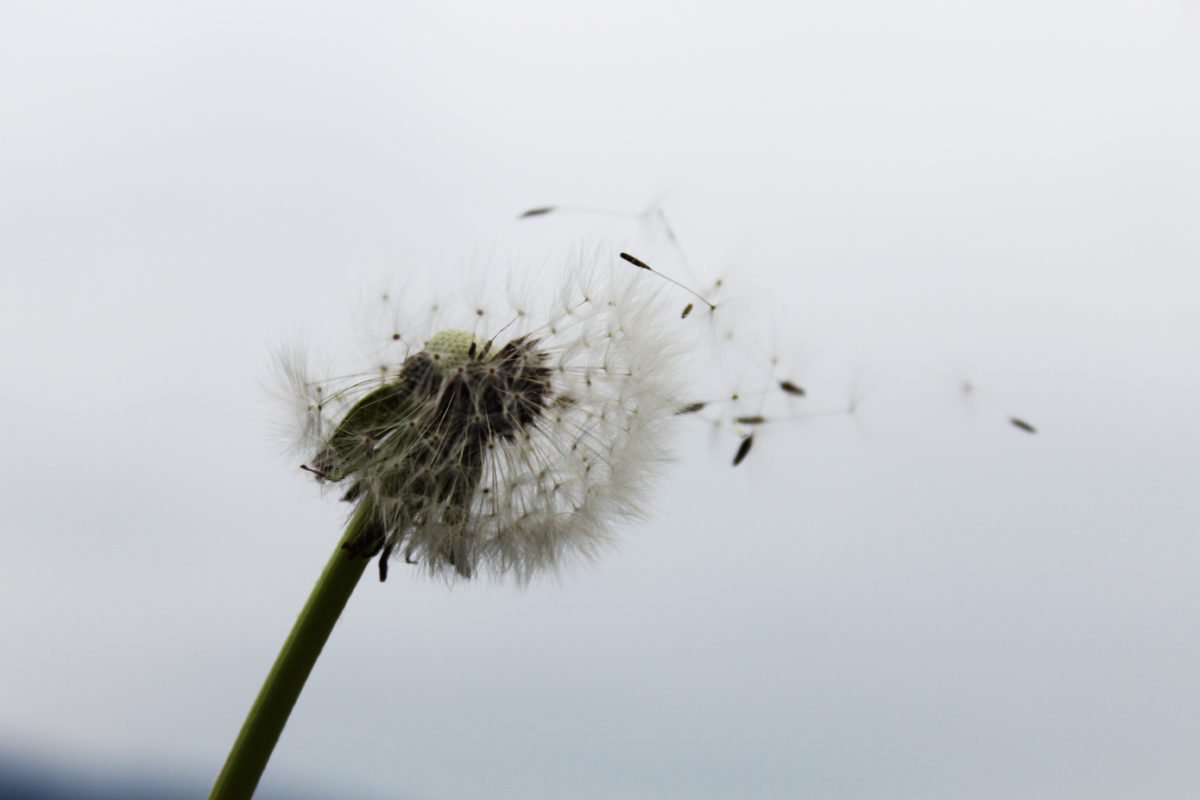 Dandelion turned into a blowball