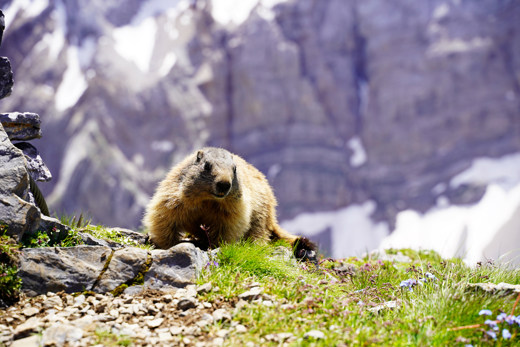 Marmot Valentinalm