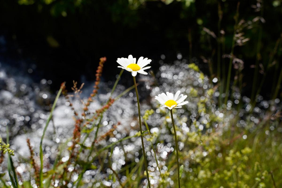 Flowers in Pitztal