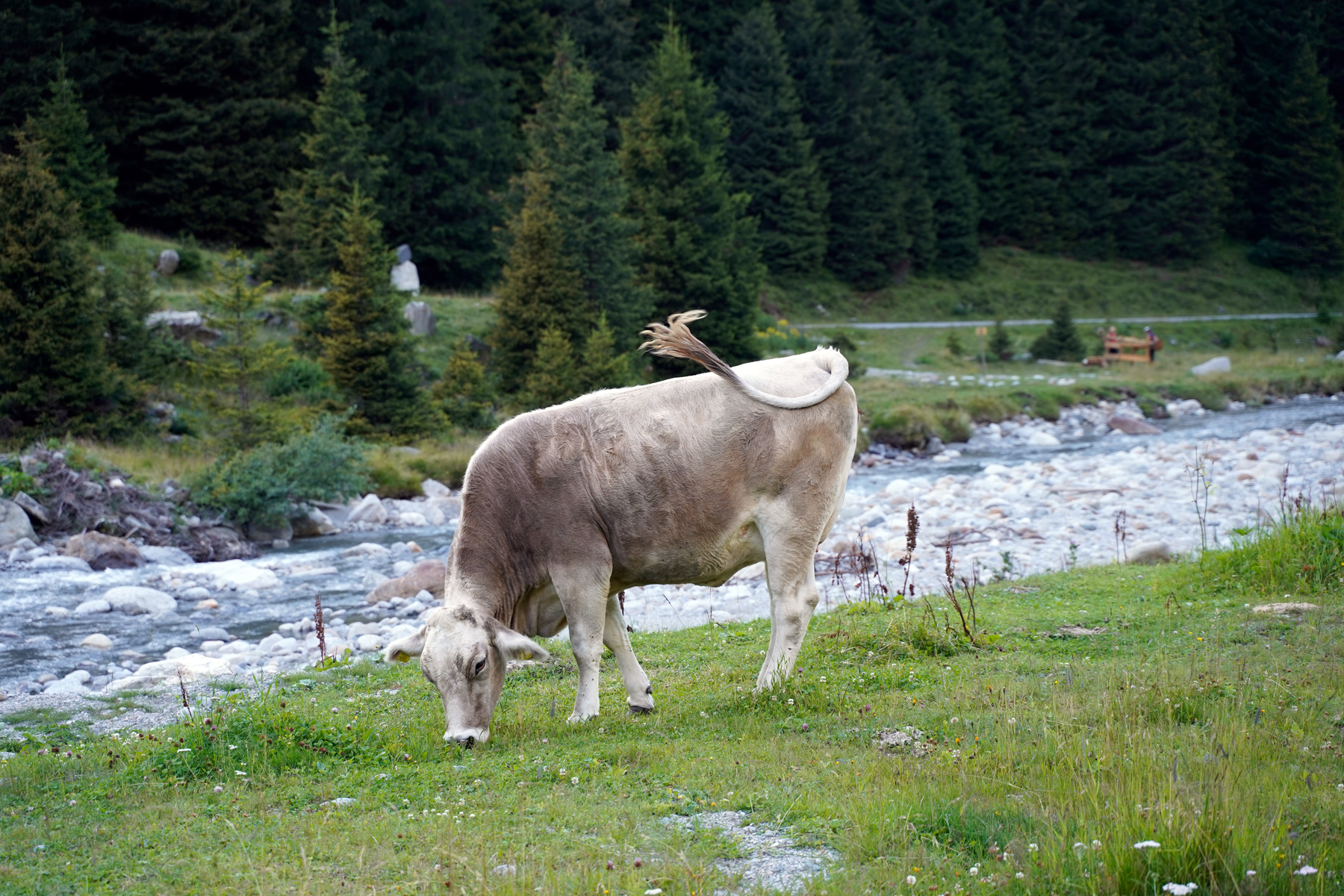 Brown cow in Pitztal
